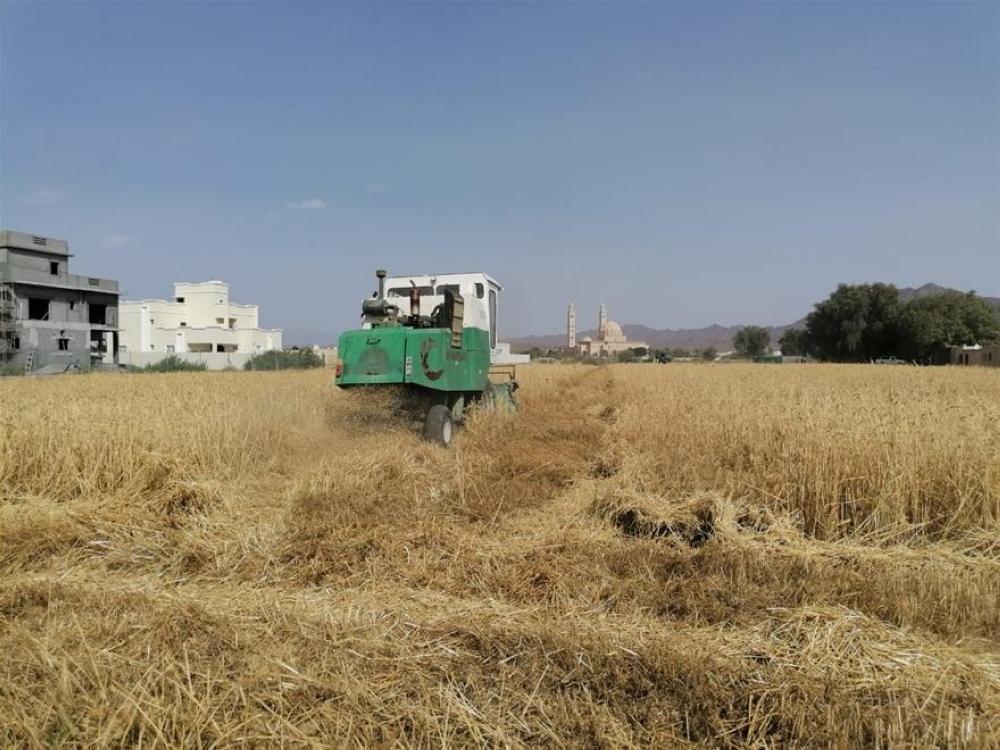 إنتاج أكثر من ٥٦٣ طنًا من القمح العُماني و٢٤٧١٦٠ كجم من السكّر الأحمر في ولاية بهلاء