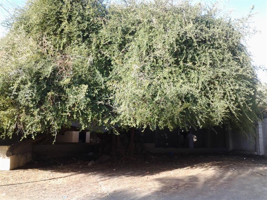 موضوع-عن-أشجار-السدر-6